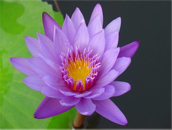 Stiltedag - rustgevende-lotus